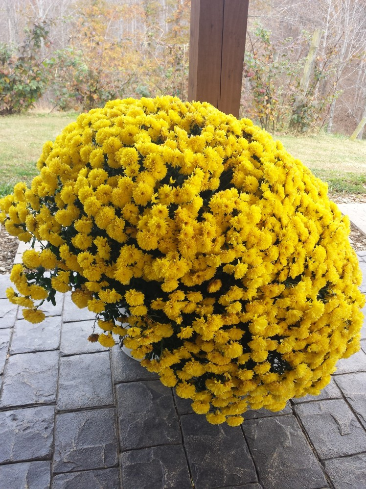 Massive potted mums were placed all over the patio area
