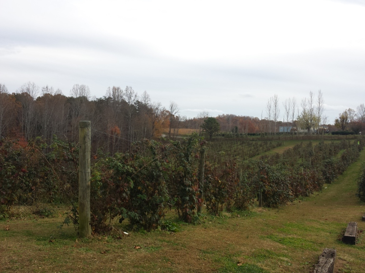 The rows of berry vines, done for the season